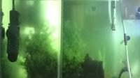 水槽20リットルのグリーンウォーター が水換えしても取れません  リセット、光量減やブラックホール、ヒメタニシ隊とありとあらゆる手を尽くしましたが元どおり  どうすればよかですか?? 内訳 魚 コリドラ...