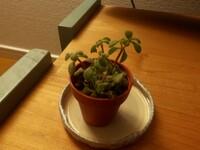 ホームセンターでこの植物を買いました。多肉植物としか書いていなかったのですが、植物の名前をお分かりになる方教えてくださいm(_ _)m