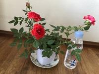 ミニバラのことで質問します 鉢植えのミニバラ(高さ15㎝)を地植えしたら今より大きく(何㎝くらい)なりますか? 苗が大きくなると花も大きくなりますか?そのままの大きさですか? よろしくお 願いします。