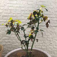 バラの新芽について 首都圏・ベランダ・素焼きの鉢でバラを育てています。 バラの新芽がクタッとなっているのは水切れでしょうか  土は表面は乾いていますが、中はほんのり湿っているかな という感じです。 根腐...
