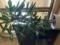2年前に60センチと30センチ位の2本が合わせて植えてあるドラセナジュレを購入しました。 すぐに鉢底から根っこが沢山出てきたので、ひと回り大きい鉢に植え替えました。 その後更に成長し、今 では1メートルと50センチ位になりました。 また徐々に根っこが鉢底から出てきたので、 近々、少し大きめな鉢に植え替えようと思っています。 その時の事で悩んでいます。 このまま2本を合わせてそのま...