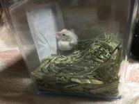 文鳥 挿し餌 食べない  昨日、行きつけのペットショップで白文鳥の雛(生後3週間)を購入しました。  文鳥は前にも何度か飼ったことがあったので、余り心配していなかったのですが、その日の 晩から餌をほとん...