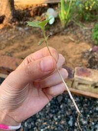 さくらんぼの木の下から双葉 が出てきました。 花壇にしているので昨年はパクチーやミニトマトや数種類のハーブとか植ってました。 そこで何の双葉の芽が出てきたのか知りたいのですが、どなたか分かられる方いま...