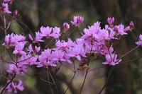 この花の名前教えて下さい 岩ツツジなのか?ミツバツツジなのかはっきり分かりません。よろしくお願いします。