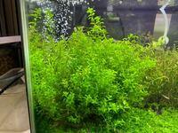グリーンロタラが画像のようにパールグラスみたいに葉が小さくなってしまったのですが、原因など教えて頂けるでしょうか?よろしくお願いします。 初期の頃は普通に育ってたのですが、トリミングしたらこうなって...