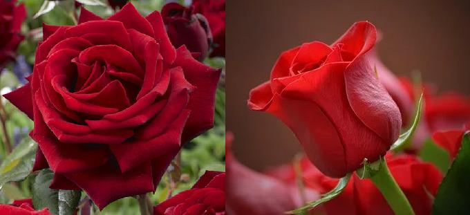 バラの花に詳しい方に質問です。 家庭で咲いている花は大抵花が大きく外に広がっていると思うのですが、 花屋さんで売っている花はぎっしり詰まっているというか、花びらが大きく外には開いていません。 ...