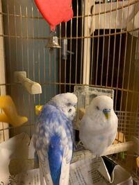 青色と白色のメスのセキセイインコを2羽と犬とウサギを飼っていました。インコはどちらも今年7年目です。しかし、昨日の昼、青色の子が亡くなり、僕はそれを看取りました。ほんとに可愛くて、2羽とも僕に懐いてくれ て、毎日ゲージから出すたびに肩の取り合いが始まりました。今思えば、あれがどれだけ幸せだった事かと、思いが巡ります。今は、白い子が一羽になってしまいました。白い子の胸を見ると、青い子の青色が白...
