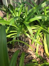 植物の名前 教えて頂けないでしょうか。 オモトになんとなく似ています。添付の写真の 植物の名前を教えて頂けないでしょうか。宜しくお願い致します。