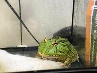 ツノガエル(アダルトサイズ)に5cmくらいの小赤を与えたいんですが、小赤が5cmくらいだと骨も発達してきてると思うんですが、骨がツノガエルの胃に引っかかったりしませんか?その他のこととか教えてください!