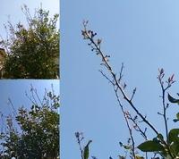 レモンの木の剪定を教えてください。3メートルほどの高さの木ですが伸びている上の方を1m位カットしても木が死なないでしょうか?新しい葉が育ち始めています。よろしくお願いいたします。