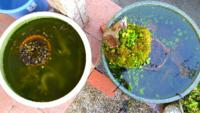メダカの睡蓮鉢について詳しい方教えてください。 自宅の軒下に二つの睡蓮鉢を置いてメダカを飼っているのですが、一方の鉢だけ良くメダカご死にます。 Aの鉢は5年前から飼っていて底に赤玉土植木鉢に入れ沈めて...