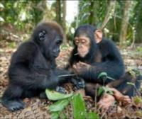 チンパンジーとゴリラではどちらが凶暴性が高いですか? チンパンジーの方が知能が高く、その変わりに凶暴な面があって、ゴリラの方が体格が大きく、その変わりに性格が温厚なんですよね?