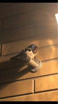最近玄関によく現れるこの鳥の名前が気になってるのですが誰かご存知の方居ますでしょうか?!もし分かれば教えて欲しいです!