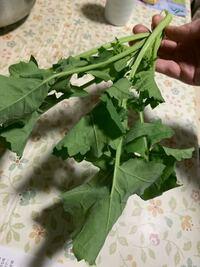 これ何の菜っ葉ですか?