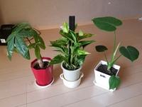 この観葉植物は植え替えはまだしなくて大丈夫でしょうか? すべて4号鉢に植えています。 もっと大きくしたいので肥料とかあげた方がいいでしょうか? 肥料をあげる場合鉢は大きくしますか?