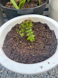山椒 20センチが庭にあり、場所的に動かしたいと思い鉢に入れました。 移して2時間たちますが、写真のように元気がありません。 どうしたらいいですか?