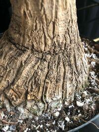 トックリランを購入しました。 今週末植え替えをするのですがコバエが気になりオルトランDXをパラパラ撒いて葉水だけしておきました。 今見るとトックリランの幹(根)の一部が画像のようになっていました。 オルトランがややこびりついていたせいかもですが少し傷んでるようなカビてるような? 水遣りはしてませんが葉水がいけなかったでしょうか? このまま放置で大丈夫ですか? 観葉植物初心者なので良く分かりま...