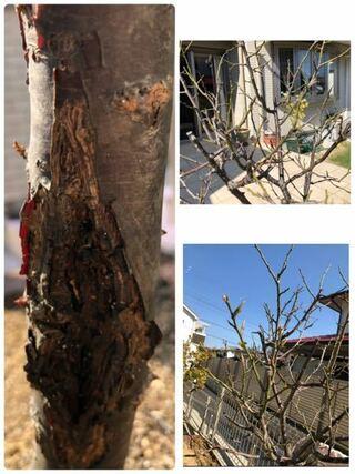 南高梅,小梅,梅の木,ころも,それぞれ鉢植え,生命感,施肥