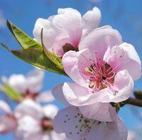 桃の花の花びらが散るのは、桜の花の花びらが散るのと、大体同じぐらいなのでしょうか。