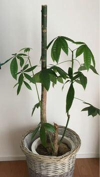 パキラが剪定後枝が生えてきません。 どうすれば生えてくるかご教示願います。