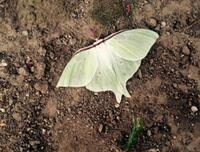 昆虫などにはあまり関心がなかったのですが、 ネットサーフィンをしていたところ 下の画像の昆虫に恋をしました。  この蛾?の名前、見られる地方・環境・季節を 教えてください。
