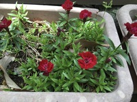 これは撫子の花ですか? この隣に濃いピンクの花もありましたが、花びらの形は若干異なりましたが、雌しべ(おしべ?)のくるっとした形は一緒でした。 詳しい方、是非教えてください!よろし くお願いします。