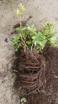 根が植木鉢の底からはみ出して伸びていたので、根詰まりしてるかと鉢を割って取り出したらこんな状態でした。同じサイズの鉢に植えたいのですが、太い根を切り詰めたりしてはダメですか?少し整理しないと、同じサイ ズの鉢では土が入りそうにないです。 教えてください。