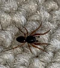 体長5ミリくらい やや赤みがある色 蜘蛛にしては走るのが速い 動きが蟻っぽい 全然ジャンプしない  そんな蜘蛛を部屋で見かけたのですが、画家検索しても見つからず、名前がわかりません でした。どなたか...