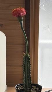このサボテンの種類を教えてください。 購入して1週間位なのですが、茎がもたげてきてしまいました。(画像は購入したばかりの頃です。) 何が原因なのでしょうか。 日の当たる室内に置いてお り、水やりは2日に一度位です。一度にやる水の量が多いのでしょうか?