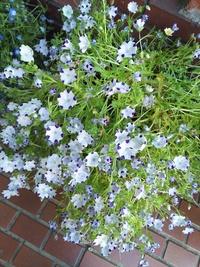 この花は何ていう名前の花でしょうか?  花自体は直径5センチくらいの小さな花です。 白い花びらに5箇所紫色のところがあって、珍しいなと思いました。 葉っぱはギザギザした形状だったと思 います。 つぼみ...