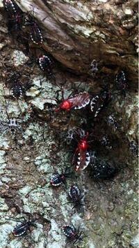 この赤い虫はなんと言う虫でしょうか。 また毒性などありますか?