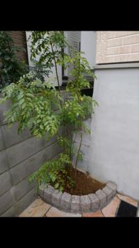 シマトネリコ。 新築戸建を購入しましたら、敷地内にほんのわずかなスペースにシマトネリコが植えられていました(添付画像)。今後、このシマトネリコはどのようにお手入れすれば良いですか?今 のところ、雨以外の日に夕方水をまくだけしかやっていません。剪定や虫対策、肥料などについて今後のお手入れ方法を教えてください。  また、この小さな植樹スペースのわずかな空いている部分にお花の苗など植えても良...