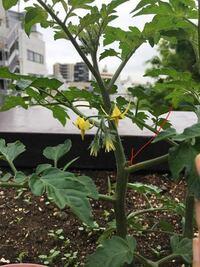 家庭菜園 ミニトマト 二本仕立て 脇芽 こんにちは ミニトマトの二本仕立てをしたいのですが 第一花房のすぐ下にある脇芽を誤って摘んでしまいました(赤い矢印の部分) ここから二本仕立てにしたい場合はどうすればよいのでしょうか? ご存知の方がいたら教えて下さい