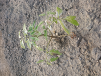 ホームセンターでトマトの苗を購入して定植しましたが、1週間ぐらいで葉っぱに元気がなくなり、白っぽくなってしまいました。何かの病気でしょうか?畑はまだ一年生でわかりませんm(__)mどなたかアドバイスいた...