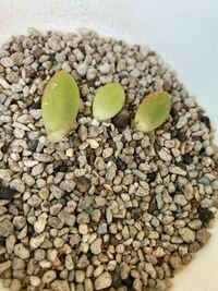多肉植物の葉挿しについて 先日、外で育ているセダムの春萌?(定かじゃないですすみません)から葉挿し用に葉っぱを3枚つんできました。調べたところ成長点というものが残っていないと生えてこないらしいのですが、こちら大丈夫でしょうか?