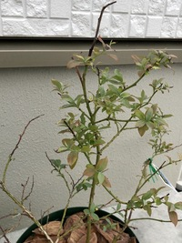 ブルーベリーのサンシャインブルーについて。購入時から変化なし、むしろ葉の先が黒くなり、パラパラ葉が落ちます。 3月終わり頃に園芸店にて購入しました。 何年苗かは分かりません。 見た 目は購入時とほぼ変わりませんが、葉がどんどん枯れて?少なくなっています。 ブルーベリー専用の土で植えており、全く同じ日に購入し、同じように、植え方、水やりなどで管理しているシャープブルーは新しい葉も出てき...