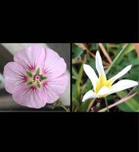 花に詳しい方この2つの花の名前分かりませんか?教えて欲しいです。ちなみに1枚目の花は一年中咲いている気がします。よろしくお願いします。