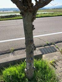 この木は病気ですか?コブだらけなんですけど。