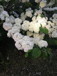 この植物の名前を教えてください。 紫陽花みたいですが、小さくて若草色です。 画像は白いですが、綺麗な薄い緑色で清々しいです。