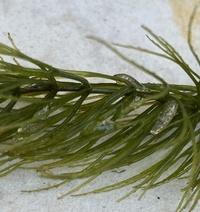 メダカ の水草のマツモにくっ付いてる ゼリー状の卵… なんでしょうか?  分かる方よろしくお願いします