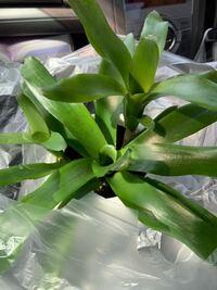 この植物の名前はなんですか? 植物の茎?が筒状になっていてその筒にも水を入れてあげると良いと言われました。名前は教えてくれませんでした。
