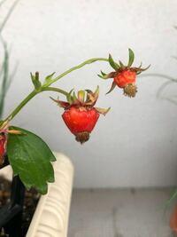 プランターで栽培しているイチゴの実が何だか変なのです。 先端に向かって赤い部分が徐々に大きくなっていますが、通常は色だけが赤くなり、このようにはならないので、どう対処していいのか悩んでいます。 どな...