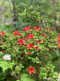 この赤い花の植物の名前が わかる方いらっしゃいますか?