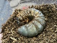 カブトムシの幼虫 これはもう死んでしまいましたか? 全く動きません。