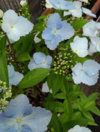 添付写真の植物の名前教えてください。