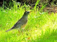 この野鳥は アカハラでしょうか それとも マミチャジナイ でしょうか 素人の私には 区別がつきません 教えて下さい