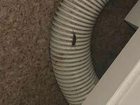 虫の名前についての質問です。 閲覧注意です。  脱衣場にいたこの虫はなんという名前の虫でしょうか? 見た目が気持ち悪すぎます…。