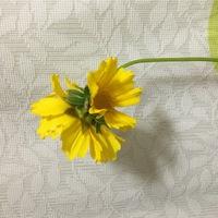 母が道端で摘んできたのですが、これはオオキンケイギクでしょうか?、花の裏から花が咲いていて、これが正しい咲き方なのか奇形なのか、、、奇形なら良くあることなのでしょうか??