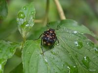 この昆虫の名前を教えてください。 体長は1~1.5cmほどです。背中の模様と触角の形に惹かれて撮影しました。 場所は福岡県の標高270mの山中です。