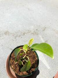 ガジュマルの調子についてです。 ここ2週間ほどから実生ガジュマルの葉っぱが下向きになりました。 現在の成長管理は 外に一日中置きっぱなし、表面が乾いたらたっぷり水+葉水毎日。 液体肥料はまだ与えておらず、培養土はベラボンに軽く赤玉土小を混ぜ込んだものを使用しています。  4月下旬から外に出し、急な直射日光が原因なのではないかと考えましたが、よく分からない状態です。  以前経験した方や、解決策...